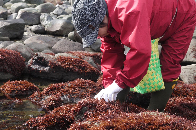 布海苔採り体験ツアー