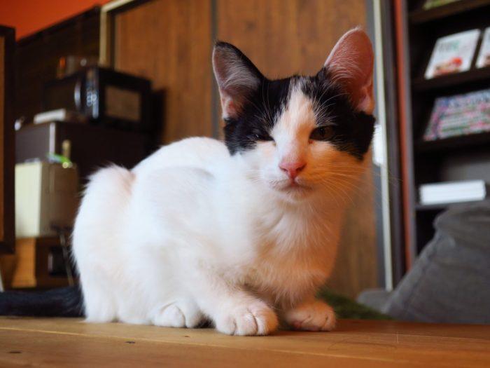 「shimofuroカフェ」猫のたまちゃん